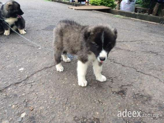 Pictures of For sell caucasian puppies for sale 3