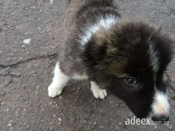 Pictures of For sell caucasian puppies for sale 4