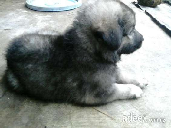 New black caucasian/alsatian puppy negotiable